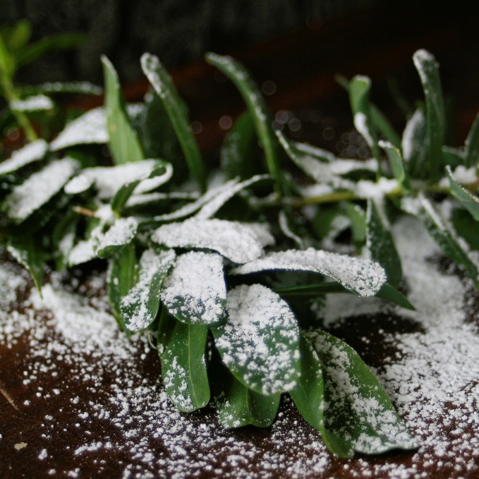 Green Christmas leaves dusted with icing sugar.