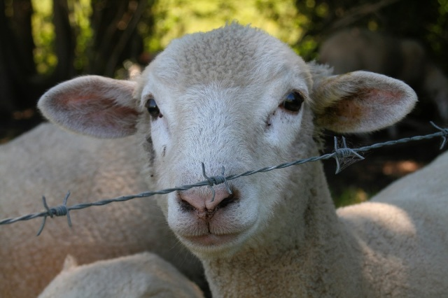 One sheep standing behind a fence.