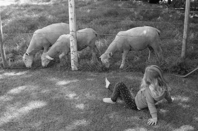 Sheep eating grass on a farm.